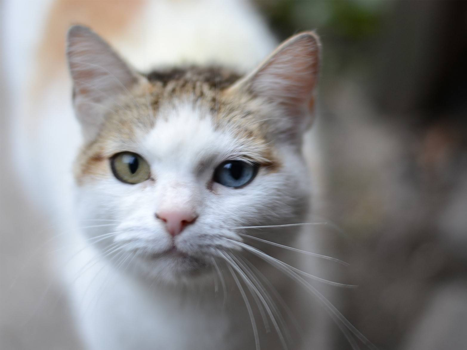 Самые лучшие породы кошек с приплюснутыми мордами и большими глазами