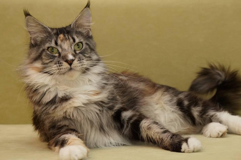 Кошки мен-куны: описание породы, характер, особенности ухода, история выведения