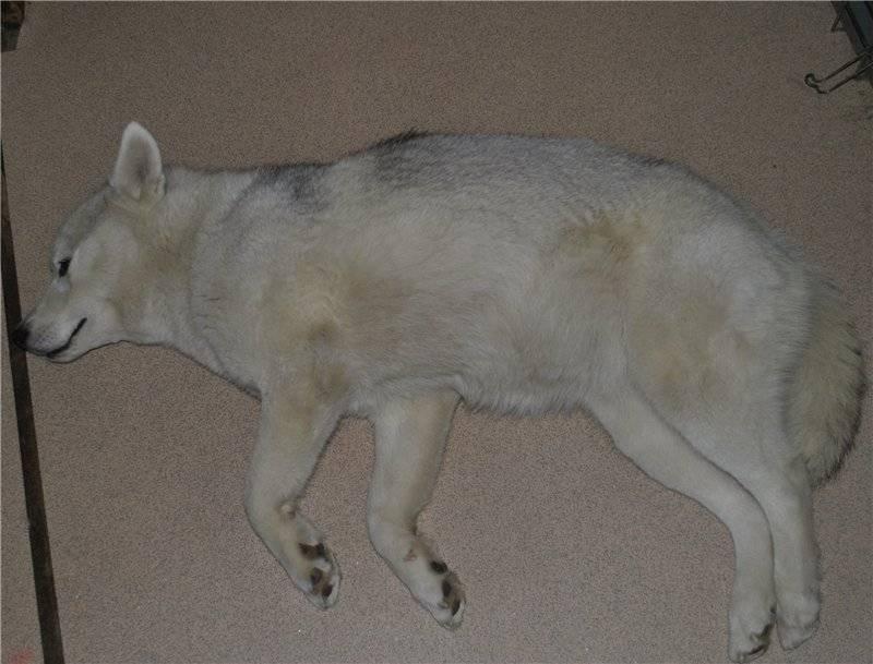 Какова средняя продолжительность вынашивания щенков при беременности у собак