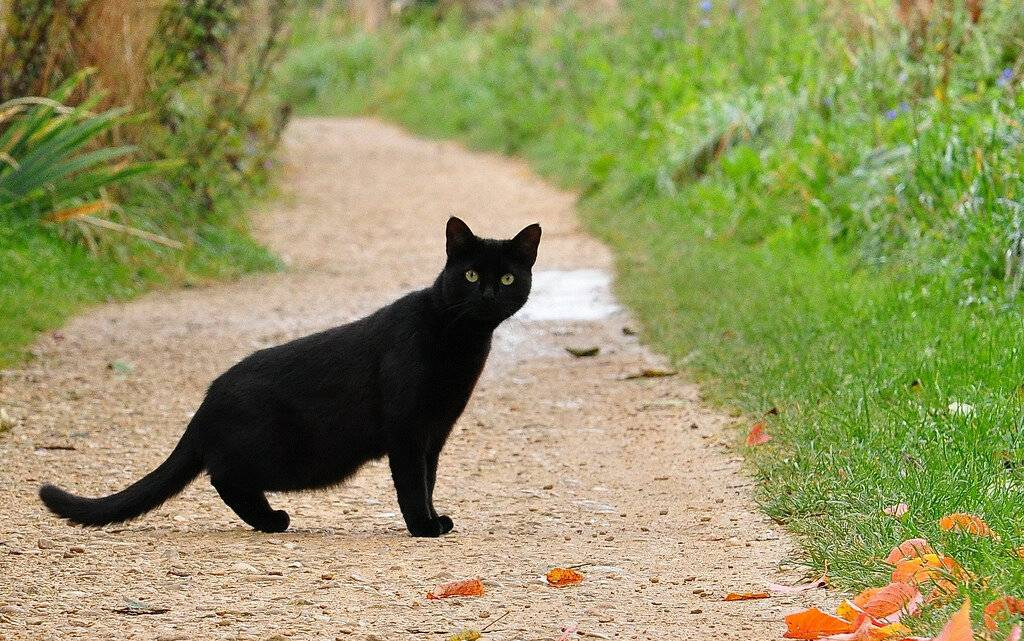 Откуда пошли все суеверия про черных котов и правдивы ли они | gafki.ru | яндекс дзен