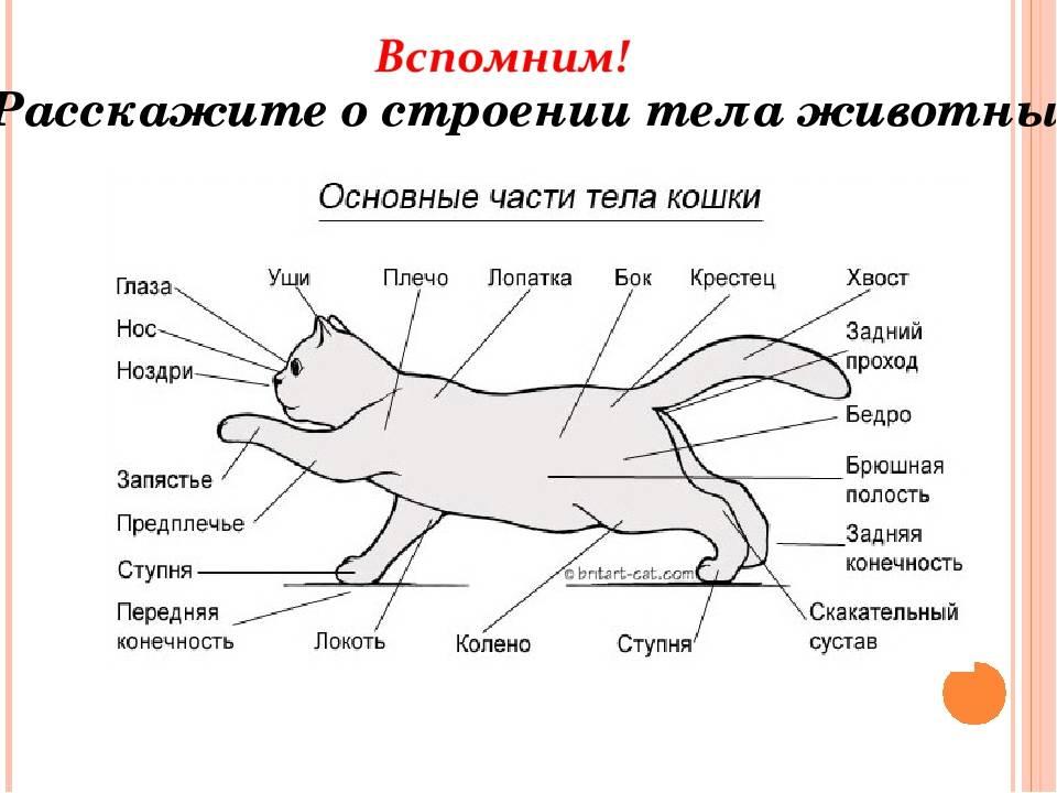 Анатомия крс — строение коровы с описанием