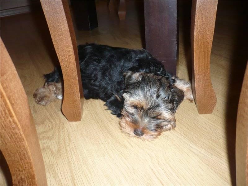 Как поставить уши собаке в домашних условиях