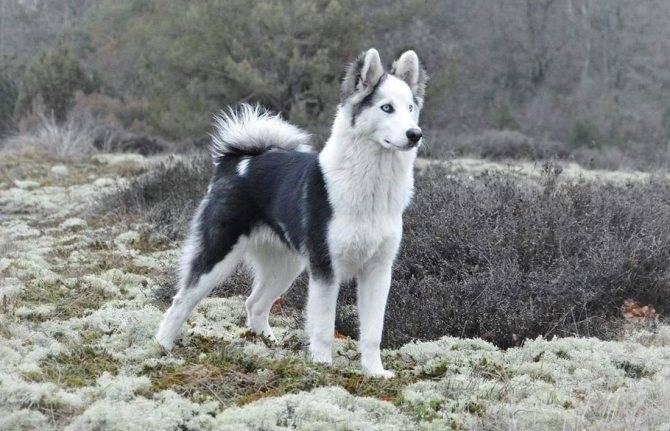 Якутская лайка собака. описание, особенности, уход и цена породы