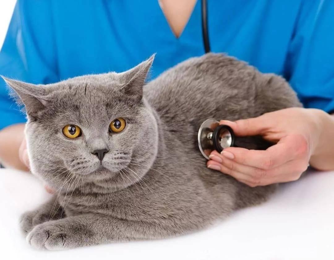 У кота температура: что делать в домашних условиях