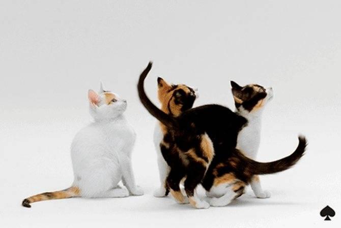 Умные, музыкальные, эмоциональные: удивительная порода анатолийских кошек