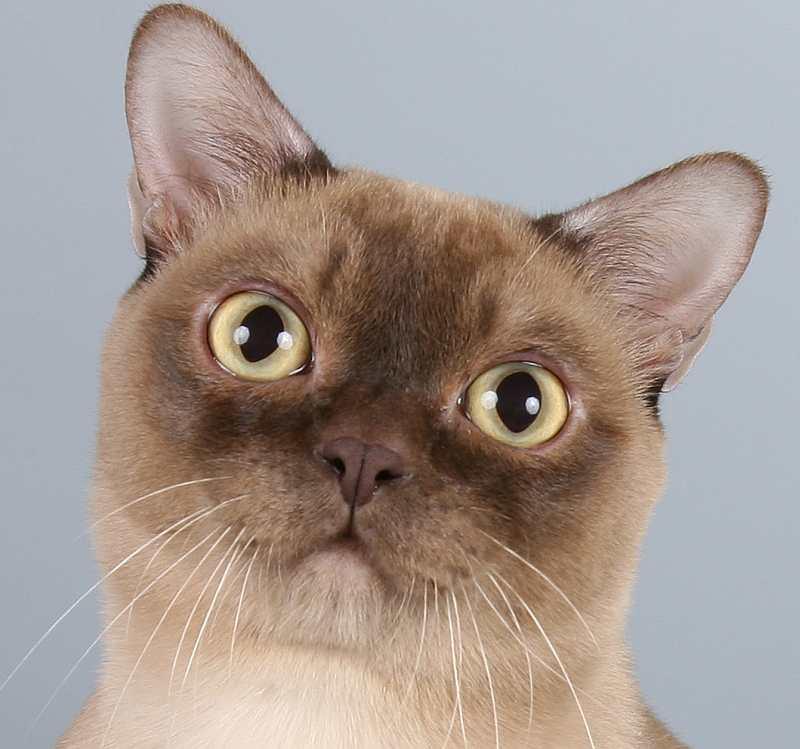Бурманская кошка: описание породы и характера, уход и здоровье