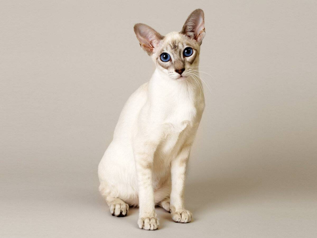 Сингапурские кошки: ? описание породы, характер, здоровье