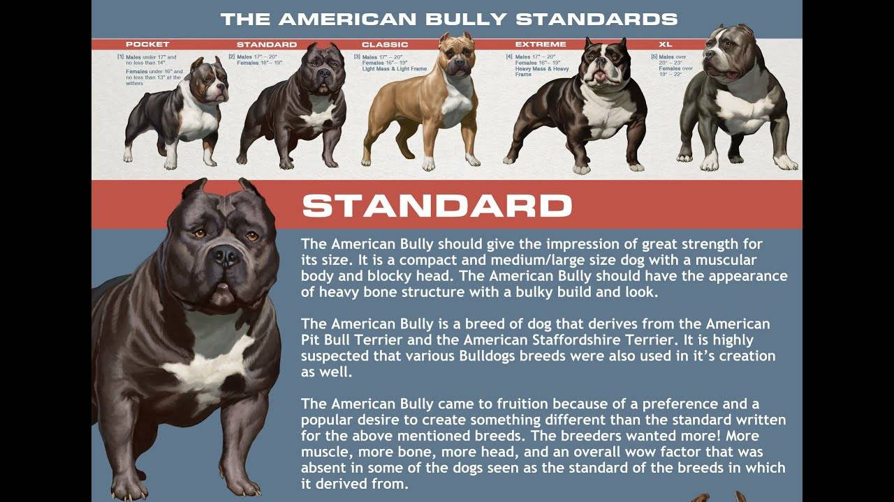 Американский питбультерьер: стандарт породы, характер, содержание