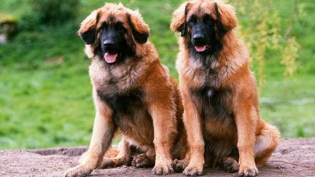 Леонбергер описание породы собак, фото и видео материалы, отзывы о породе