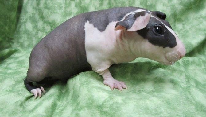 Виды морских свинок — породы, их описание и особенности