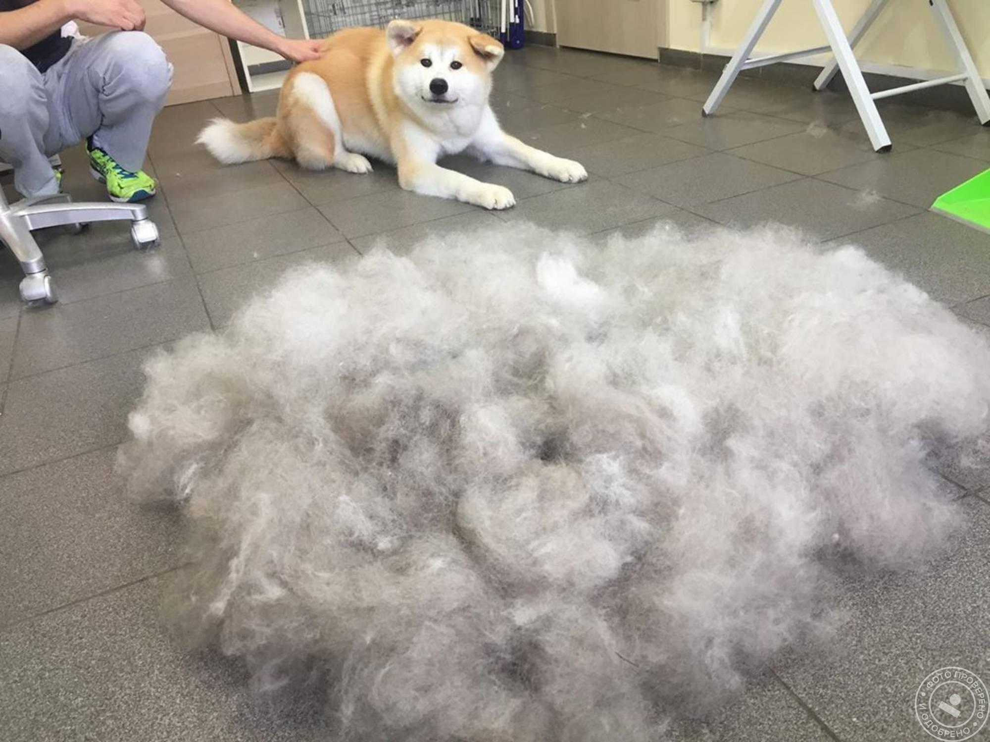 Все что нужно знать о линьке у собак