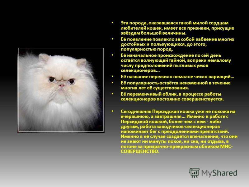 Персидская кошка: все о кошке, фото, описание породы, характер, цена