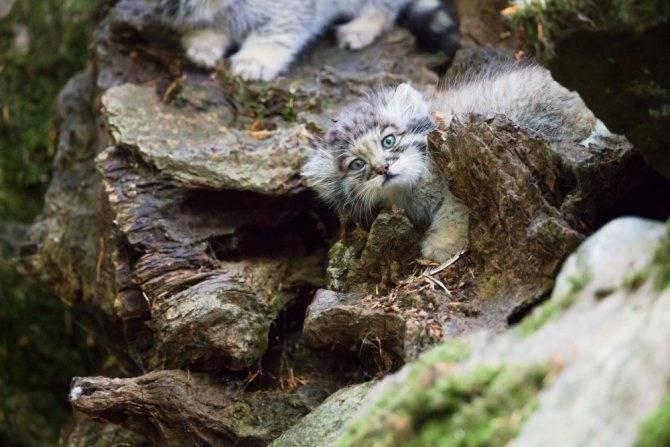 Дикий степной кот: описание породы, характеристика