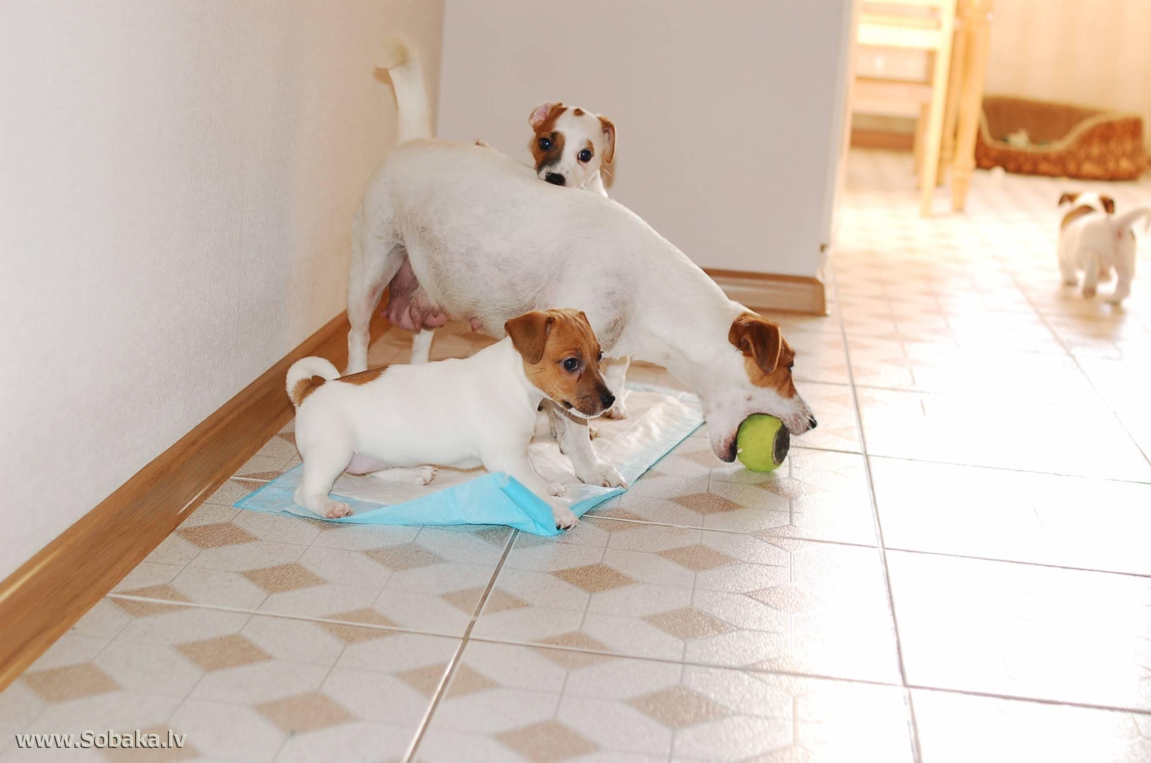 Джек рассел терьер и дети. собака для ребенка – jackrussell.pro