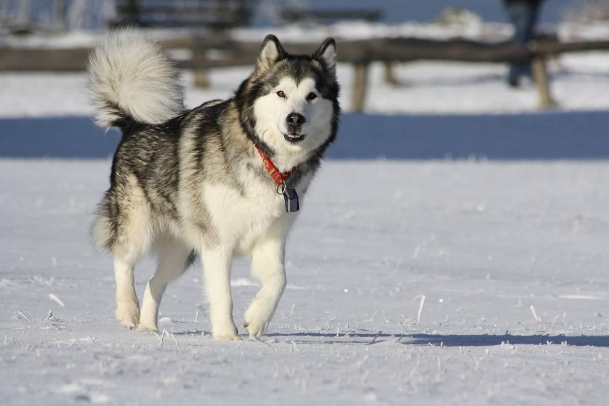 Щенки маламута аляскинского: фото, цена на мальчиков и девочек, характеристики породы, особенности питания, дрессировка и воспитание собак