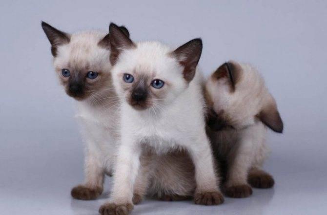 Описание характера кошек породы меконгский бобтейл, основы ухода