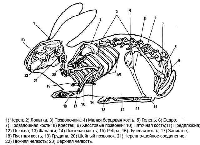ᐉ анатомия собаки: скелет и внутреннее строение мышц, костей и органов - kcc-zoo.ru