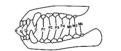 Сколько зубов у собаки и их строение
