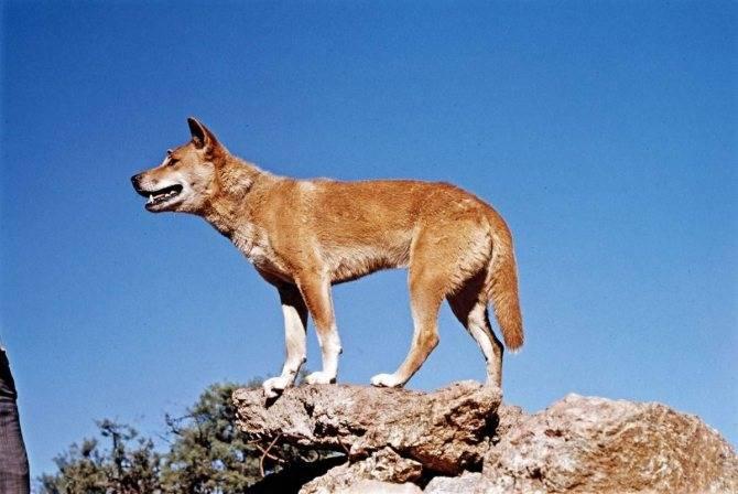 Собака динго: фото, описание породы, характеристика