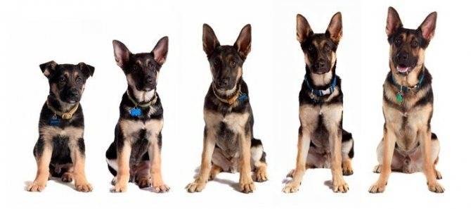 До какого возраста растут собаки мелких, средних и больших пород?
