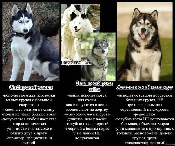Восточно-сибирская лайка и ее описание: ключевые характеристики данной породы собак