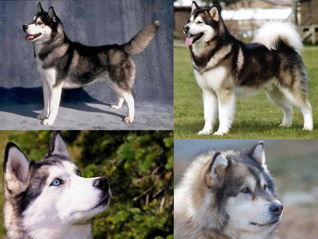 Отличия хаски и маламута — особенности внешности и характера ⋆ собакапедия