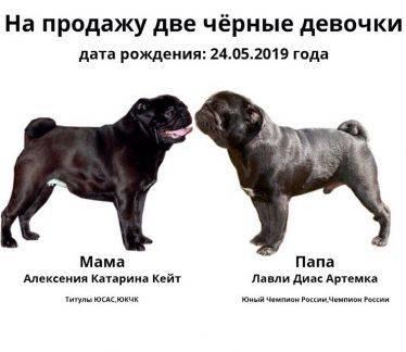 Мопс - 76 фото очень милой древней породы декоративных собак