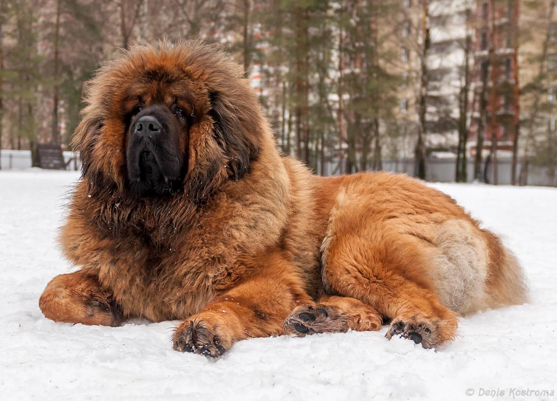 Самые большие собаки: породы
