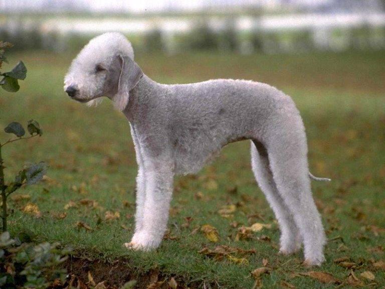 Бедлингтон-терьер: все о собаке, фото, описание породы, характер, цена