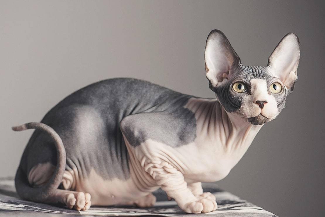 Сколько живут сфинксы: кошки и коты в домашних условиях | кастрированные