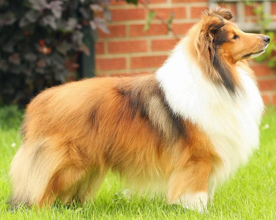 Собака породы шелти (шетландская овчарка): характеристика породы, описание и фото