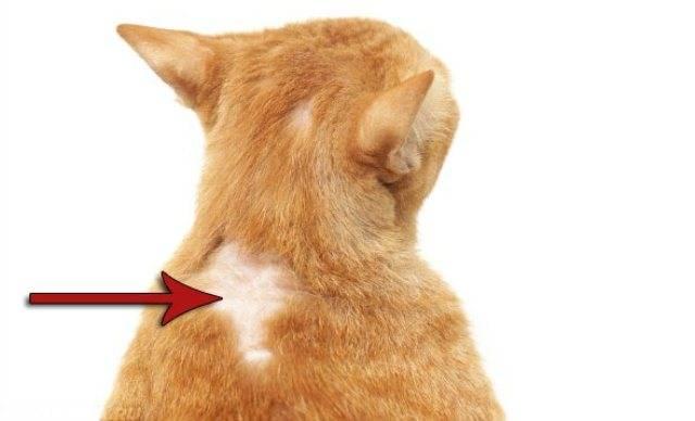 Гипоаллергенные животные для дома, на которых нет аллергии у аллергиков