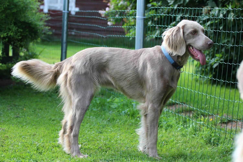 Охотничья собака веймарская легавая ✱ описание породы длинношерстного веймаранера