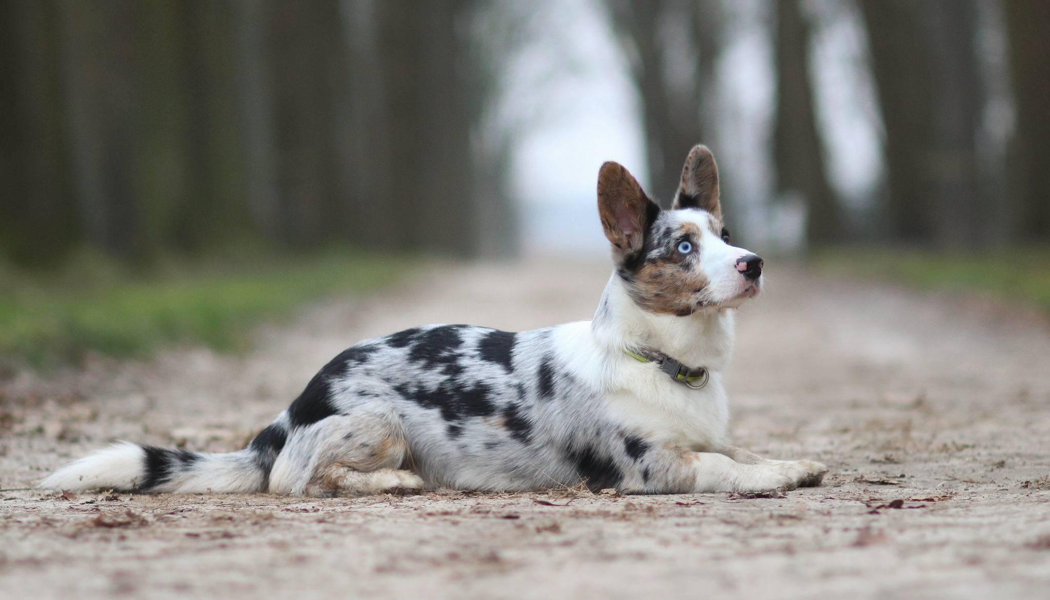 Вельш-корги порода собак: описание и особенности характера, как выглядит на фото, а также плюсы и минусы питомцев