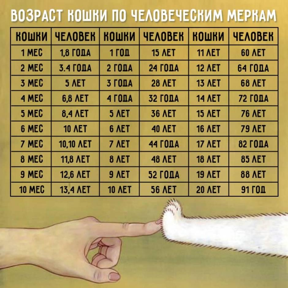 Возраст кошки по человеческим меркам: как определить, таблица