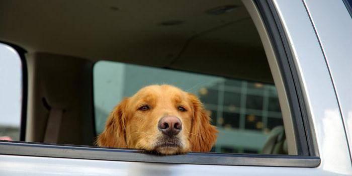 Собаку укачивает и тошнит в машине - что делать?