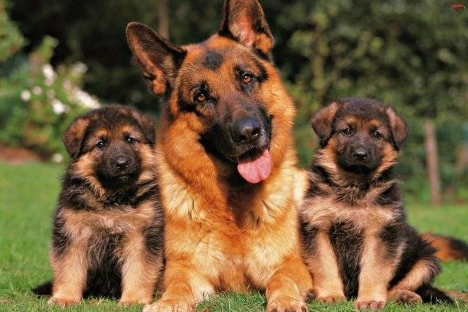 Клички для собак: мальчиков и девочек немецких овчарок