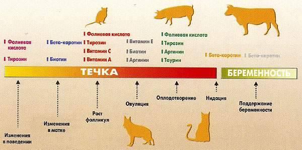 Сколько дней длится течка у собак: первый раз, у мелких, средних и крупных пород