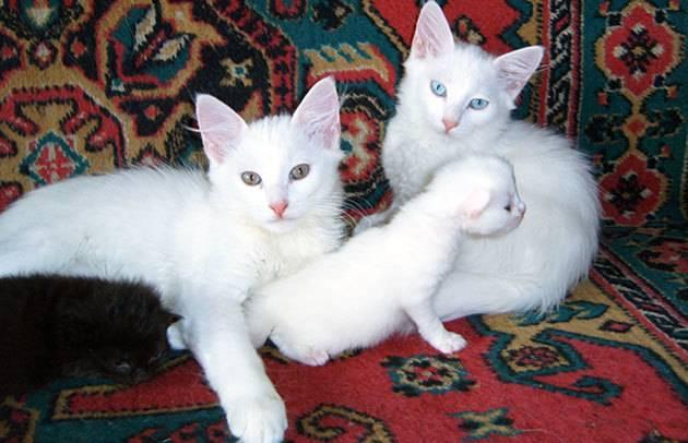 Турецкая ангора: описание породы кошек