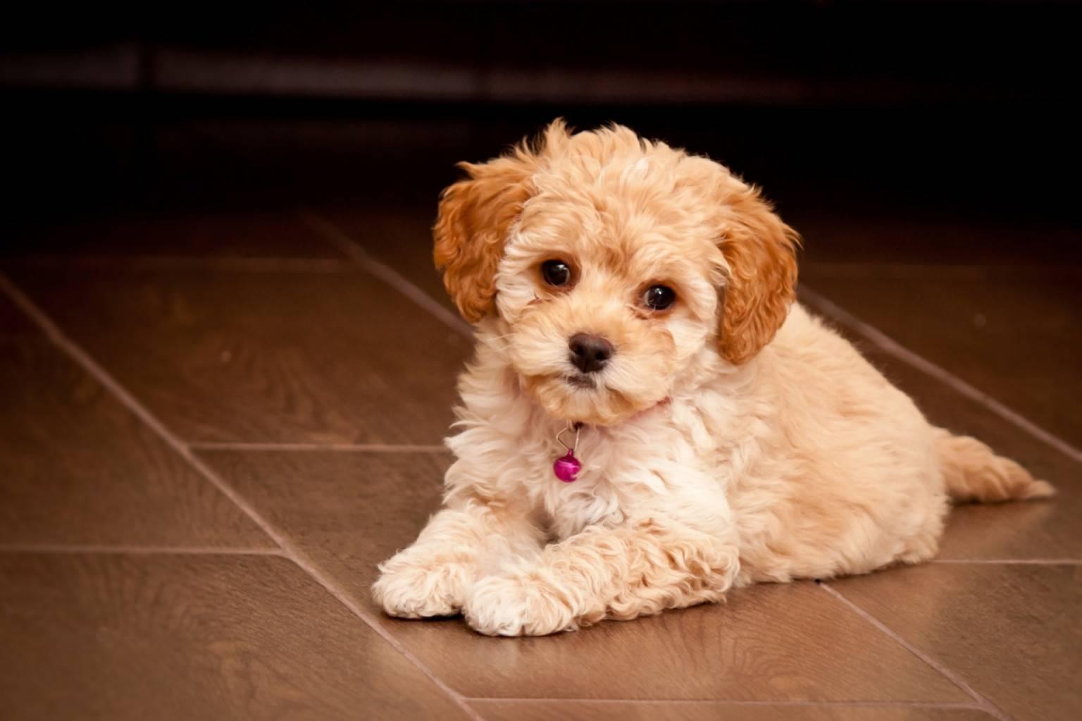 Миниатюрный бультерьер: фото, описание породы, щенки, характеристика, размеры, стандарт собаки, стоимость