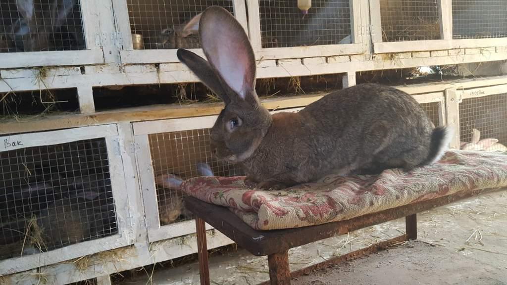 Кролик фландр: описание породы и фото