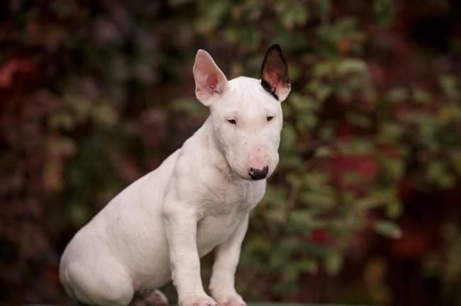 Порода собак миниатюрный бультерьер: фото, видео, описание породы и характер