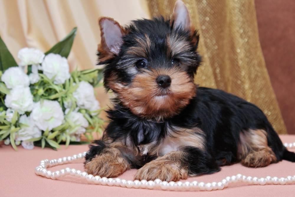 Клички для той-терьера мальчика и девочки: как правильно назвать собаку