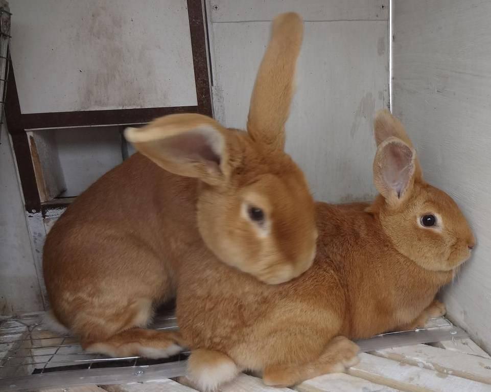 Кролики бургундской породы: особенности разведения в домашних условиях