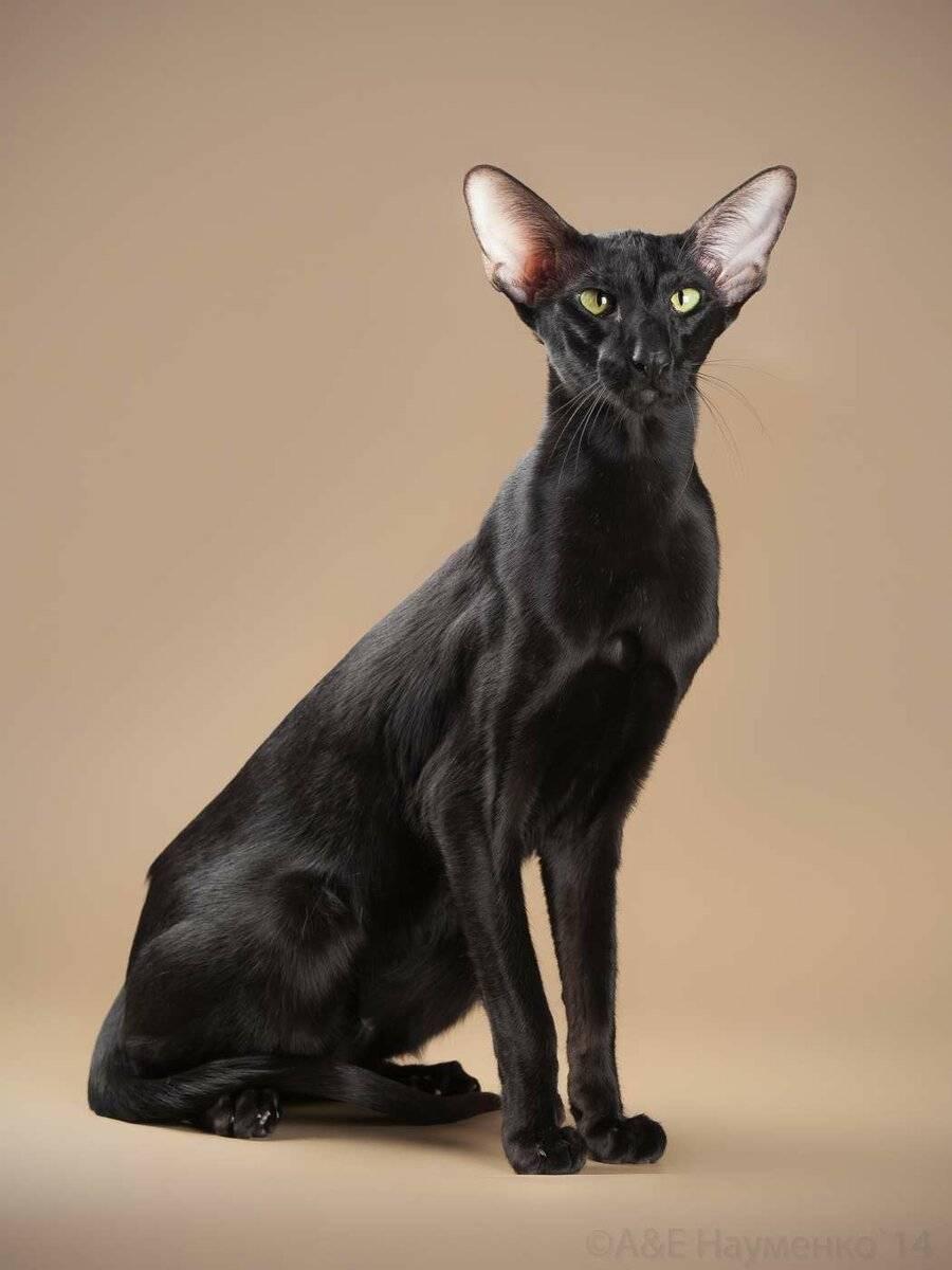 7 самых популярных пород кошек с большими ушами