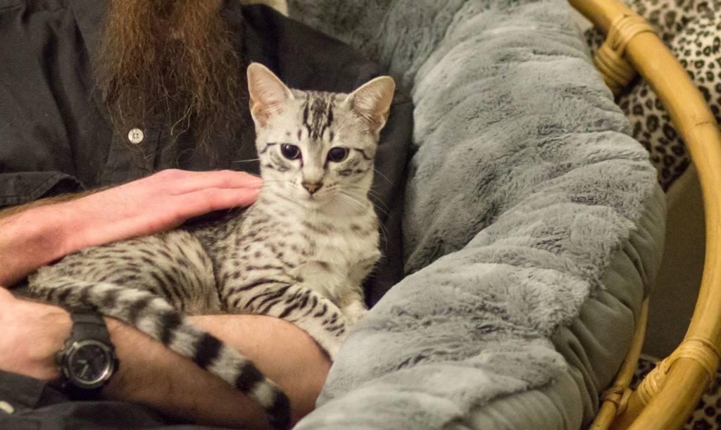 Кошка египетская мау: фото породы, описание, характер и повадки, как выбрать котят, отзывы владельцев