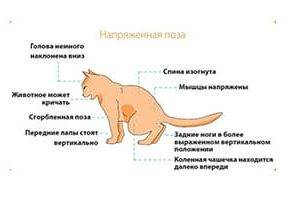 Как выглядит кошка перед родами: физические и поведенческие признаки