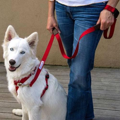 Порядок приучения щенков и взрослых собак ходить с ошейником на поводке