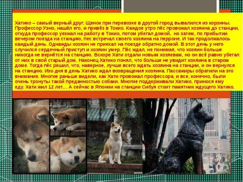 Порода собаки хатико - акита-ину описание и история породы из фильма - petstime.ru