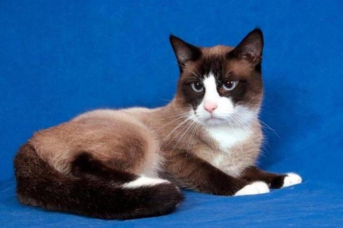 Кошка сноу-шу: фото, описание породы и особенности характера